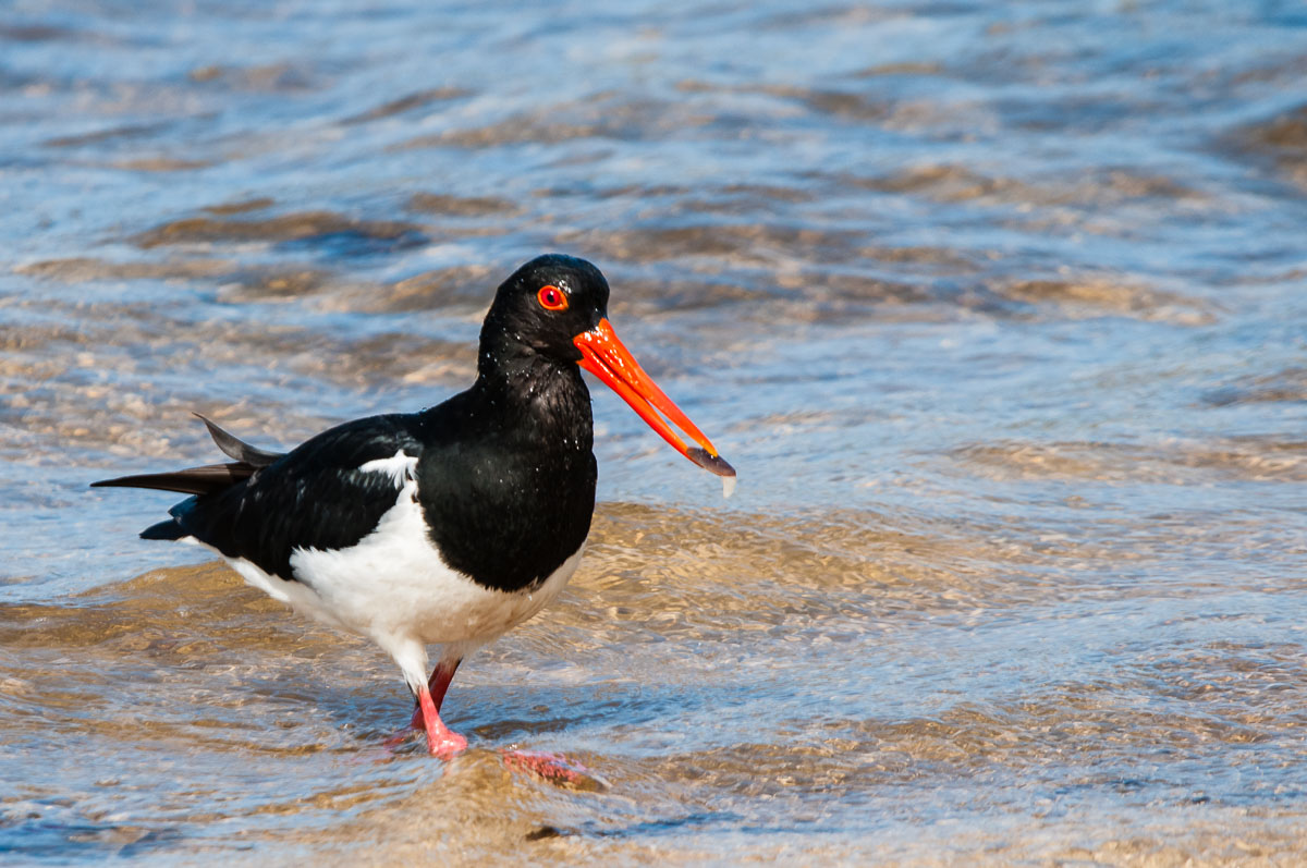 Pied Oystercatcher (Haematopus longirostris) with food, Parrearra