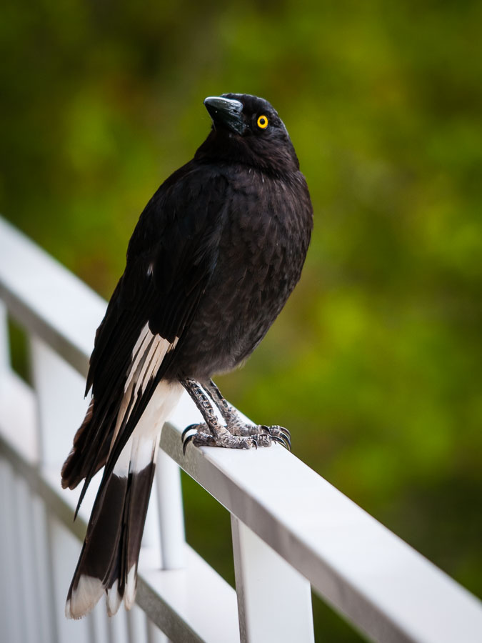 Pied Currawong (Strepera graculina), St Lucia