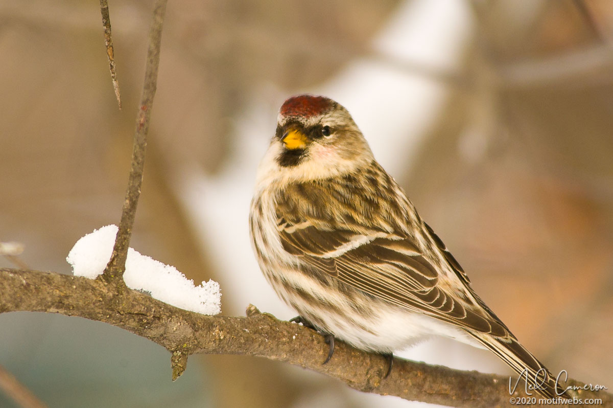 Common Redpoll (Acanthis flammea), Shirleys Bay, Ottawa, Ontario