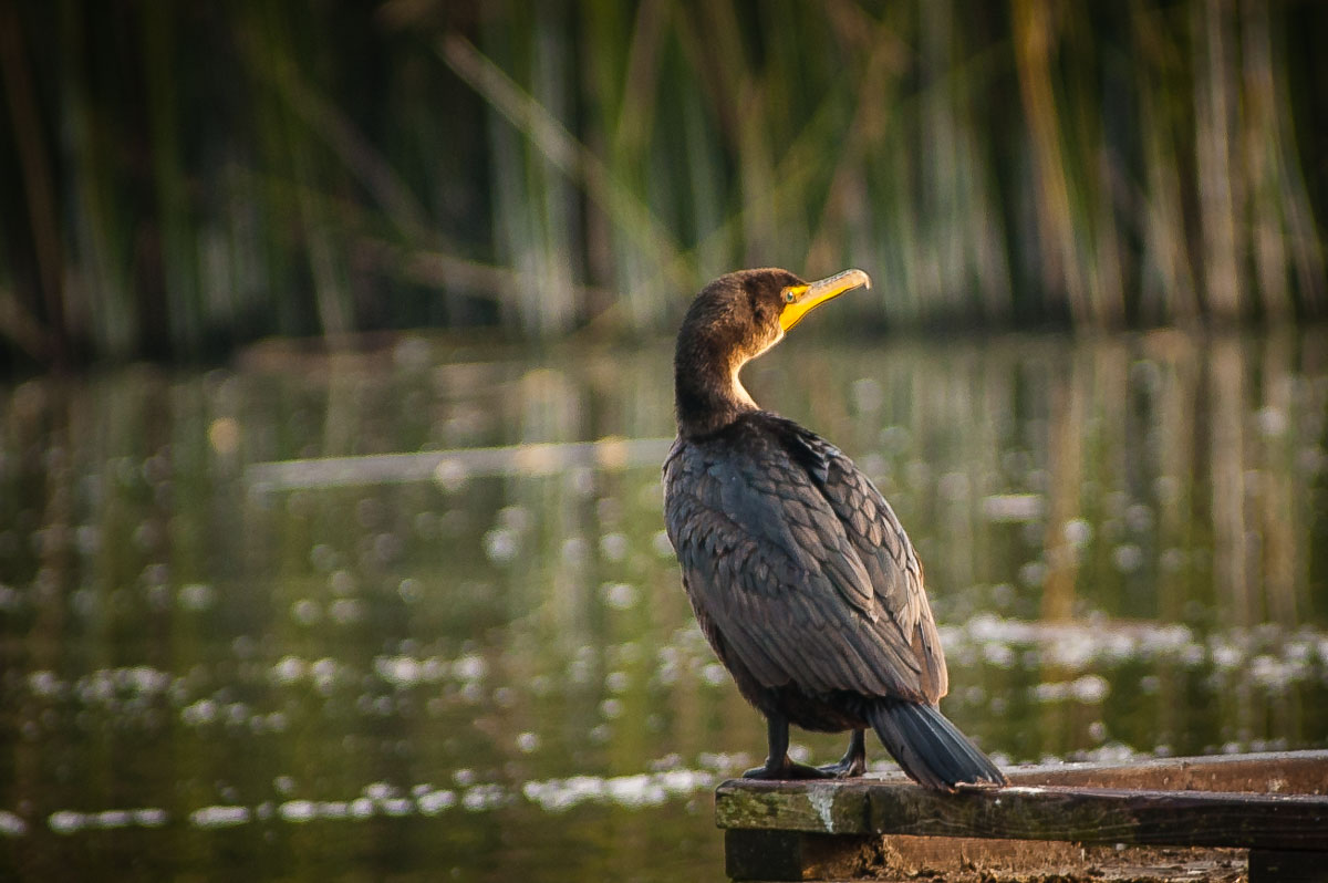 Double-crested Cormorant (Phalacrocorax auritus), Pinto Lake, California
