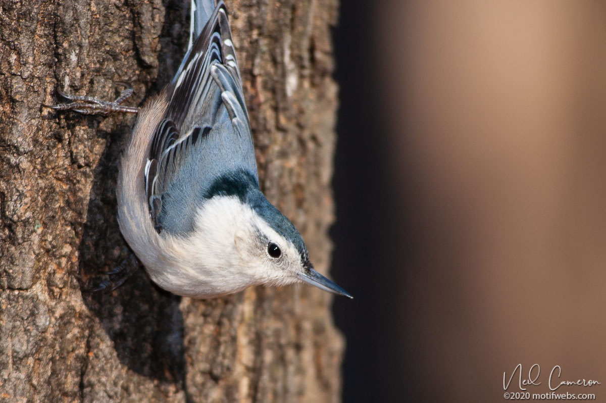 White-breasted Nuthatch (Sitta carolinensis), Mud Lake, Ottawa