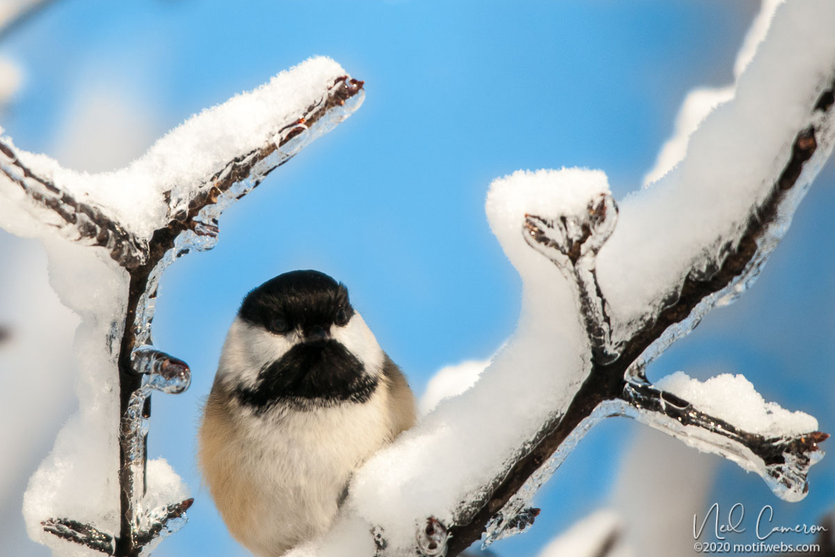 Black-capped Chickadee (Poecile atricapillus) framed by ice-encrusted branches at Mud Lake, Ottawa, Ontario, Canada
