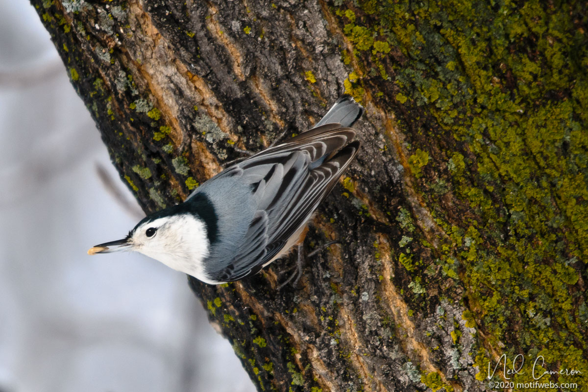 White-breasted Nuthatch (Sitta carolinensis), Mud Lake, Ottawa, Ontario, Canada
