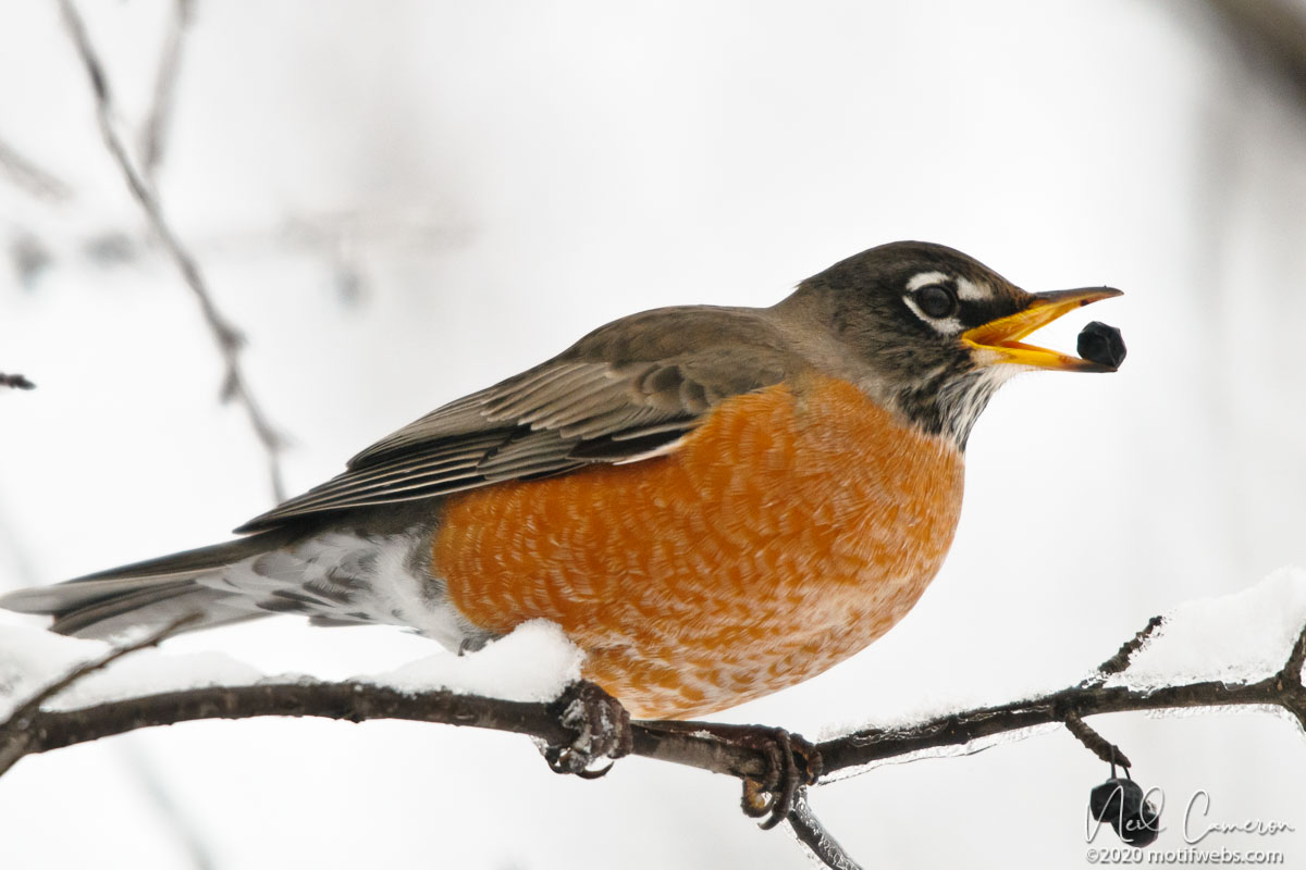American Robin (Turdus migratorius) enjoying a feed on a cold winter's morning, Mud Lake, Ottawa