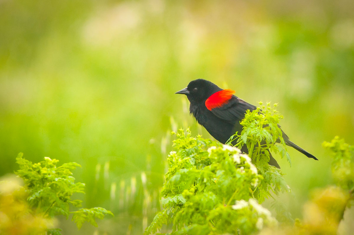 Red-winged Blackbird (Agelaius phoeniceus), Antonelli Lake, Santa Cruz, California, USA