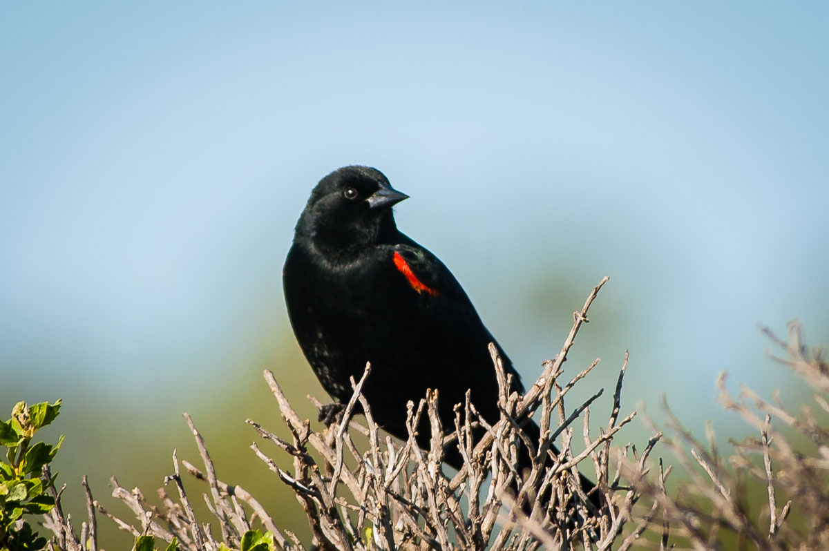 Red-winged Blackbird (Agelaius phoeniceus), Antonelli Lake, Santa Cruz, California