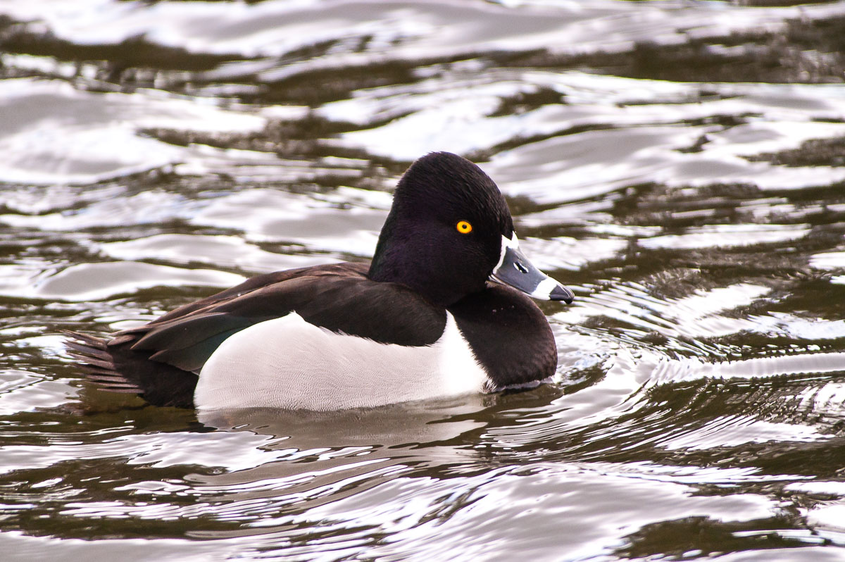 Ring-necked Duck (Aythya collaris), Westlake, Santa Cruz, California