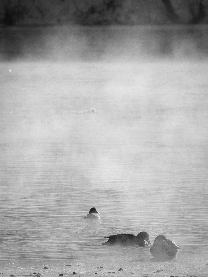 Ducks in the mist, Billings Bridge, Ottawa, Canada