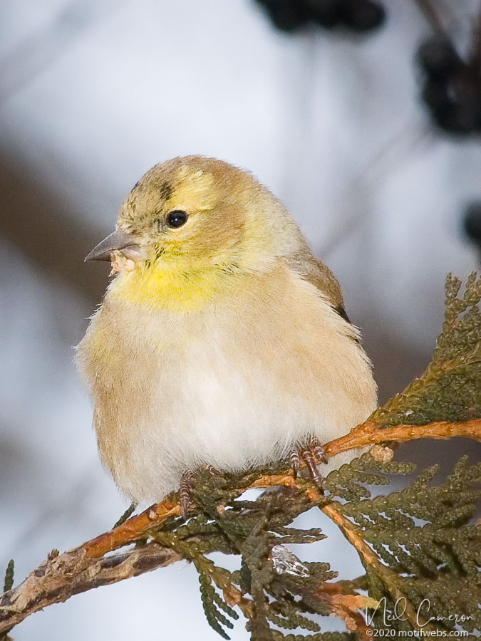 American Goldfinch (female?) (Spinus tristis), Hogs Back, Ottawa, Ontario