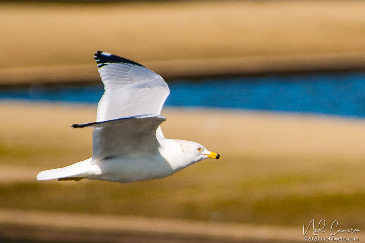 Ring-billed Gull (Larus delawarensis), Rio del Mar beach, Aptos, California