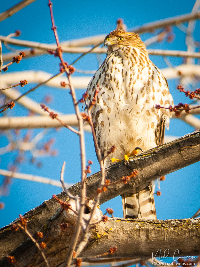 Cooper's Hawk (Accipiter cooperii), Billings Bridge, Ottawa, Ontario