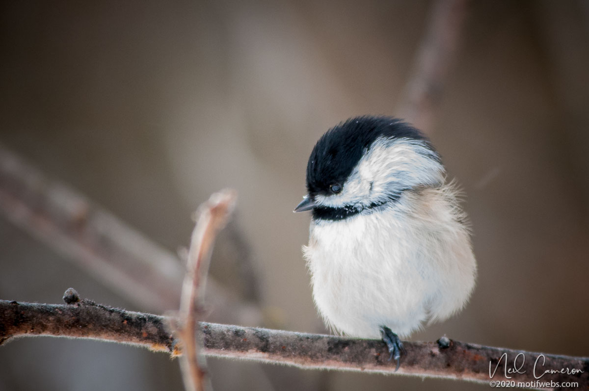 Black-backed Chickadee (Poecile atricapillus), Hogs Back, Ottawa