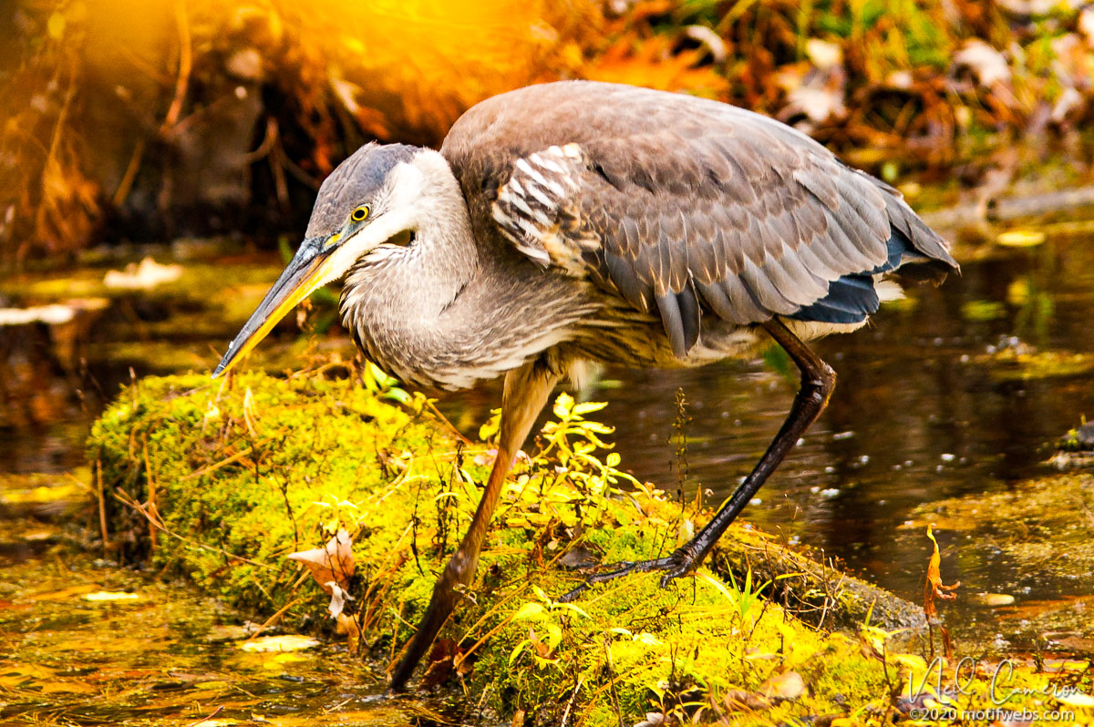 Great Blue Heron (Ardea herodias), Mud Lake, Ottawa, Ontraio, Canada