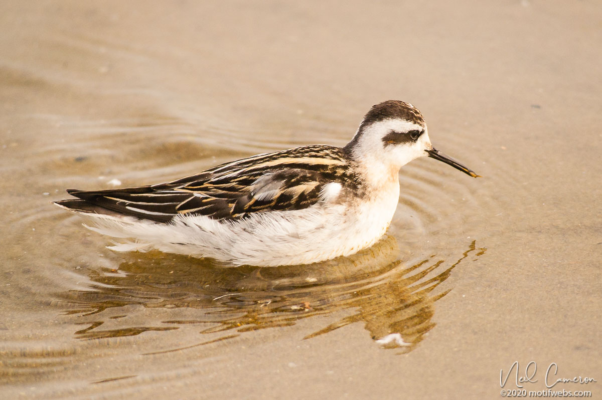 Red-necked Phalarope (Phalaropus lobatus), Rio del Mar beach, Aptos, California, USA
