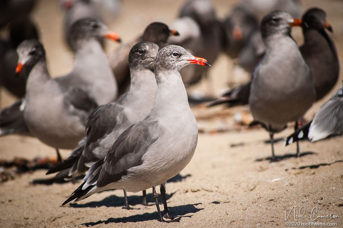 Heerman's Gull (Larus heermanni), Rio del Mar beach, Aptos, California, USA