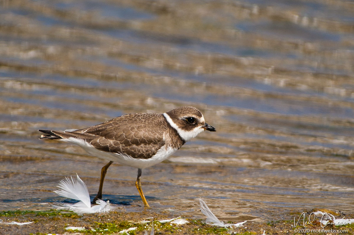 Semi-palmated Plover (Charadrius semipalmatus), Rio del Mar beach, Aptos, California