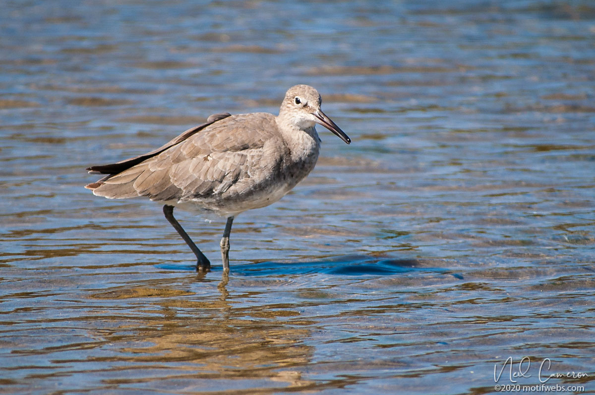 Willet (Tringa semipalmata), Rio del Mar beach, Aptos, California