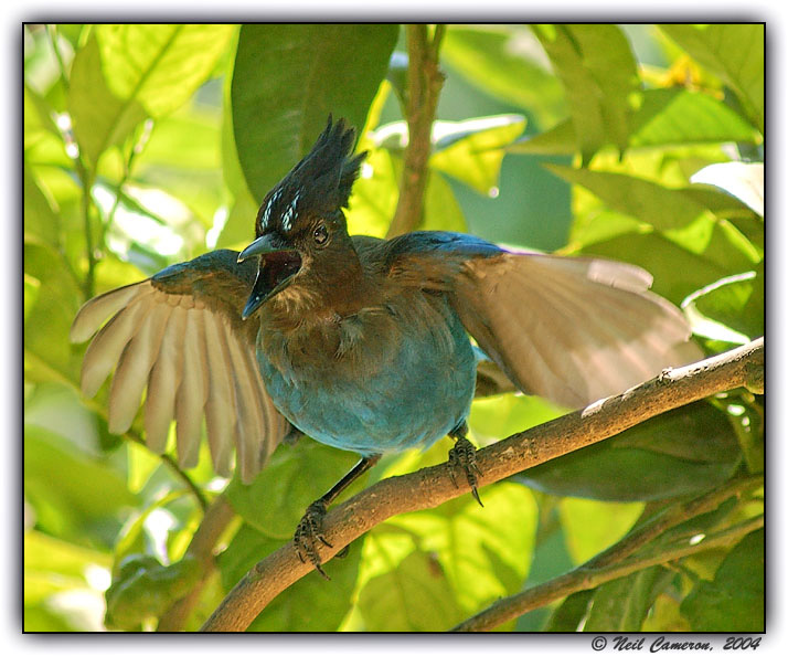 Steller's Jay (Cyanocitta stelleri) complaining about the paparazzi, Aptos, California