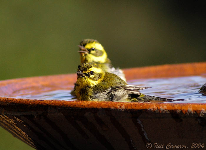 Townsend Warblers (Setophaga townsendi) enjoying a summer bath, Aptos, California