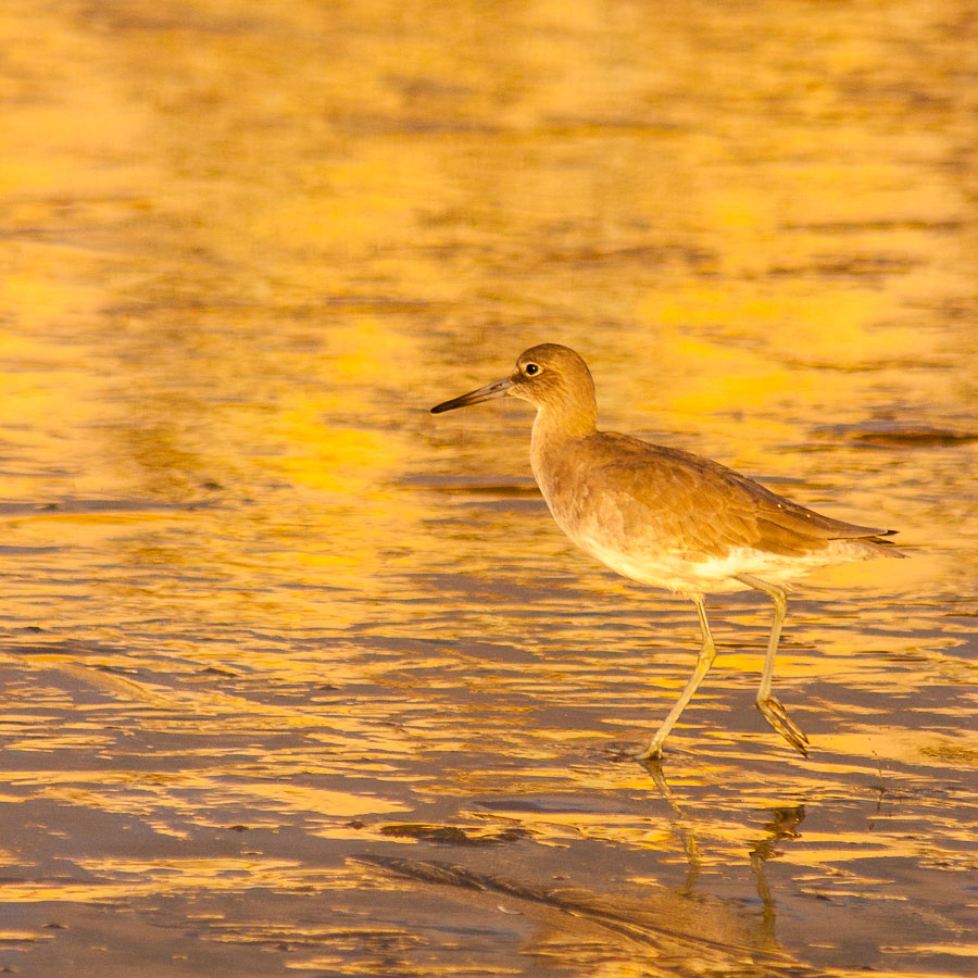 Willet (Tringa semipalmata) in the sunset, Rio del Mar Beach, California